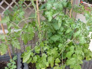 園庭のプランターで育てているミニトマト。 赤くなるのが待ち遠しいです。