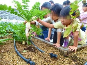 屋上菜園で育てた大根です。 小さな種から立派に大きくなりました。
