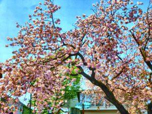 満開の桜に枝が重そうです。