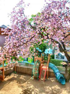 2階のホールから見た桜です。