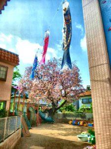 昨日飾ったこいのぼり越しの桜。 春ですねぇ。